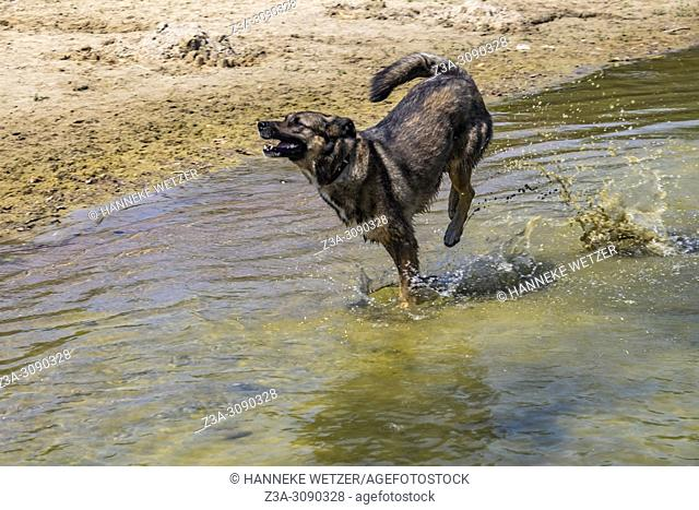 Shepherd dog running in Dutch nature, Netherlands, Europe