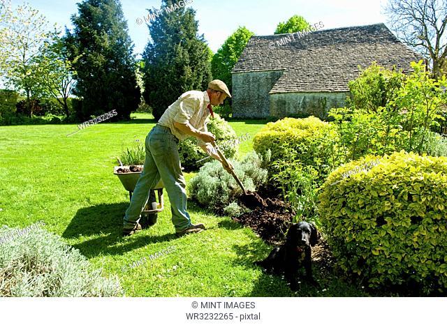 A man gardening, using a fork to add mulch and fertiliser to soil around mature shrubs