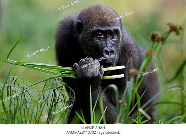 Western lowland gorilla juvenile female 'Bokata' aged 6 years feeding on sedge in a Bai (Gorilla gorilla gorilla). Bai Hokou