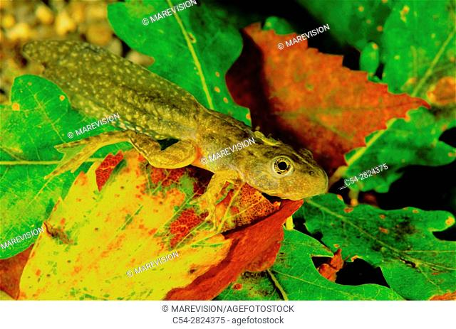 Freshwater Rivers. Tadpole of Perez's frog (Rana perezi). Oitaven river. Galicia. Spain. Europe