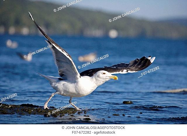 Great Black-backed Gull (Larus marinus). New York. On average largest North American gull. Breeds in Europe. Scandanavia. North America