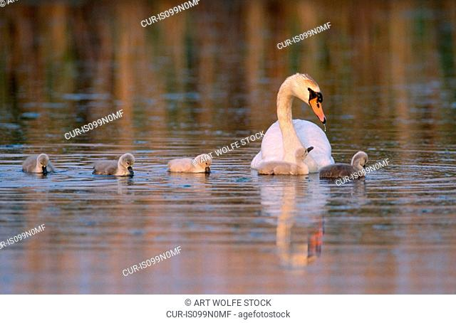 Mute swan with cygnets, Delaware Bay, New Jersey