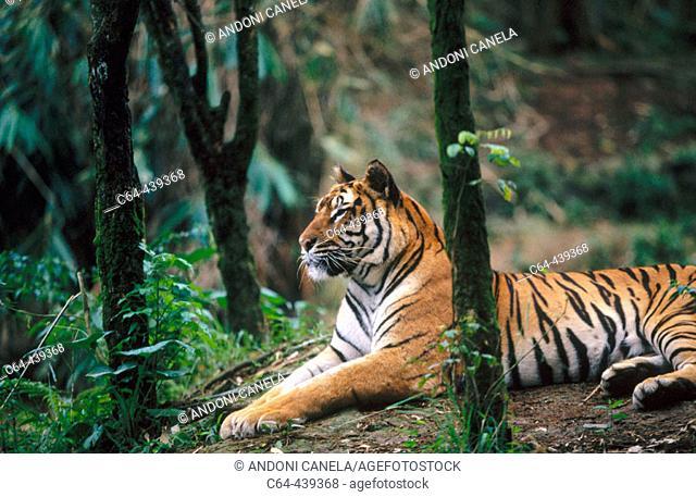 Tiger (Panthera tigris). Fauna reserve. Java. Indonesia
