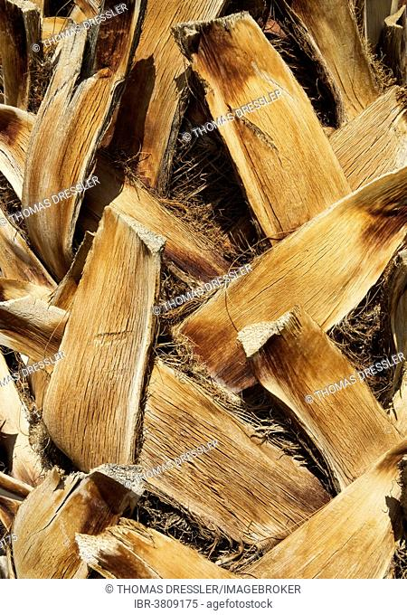 California Fan Palm (Washingtonia filifera), detailed view of the bark with pruned leaves, Death Valley National Park, California, USA