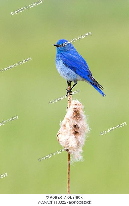 Mountain bluebird (Sialia currucoides), male with caterpillar for chicks, on cattail (Typha sp.), Cariboo Region, British Columbia, Canada
