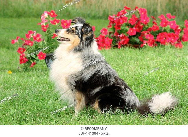 Sheltie - sitting in front of flowers