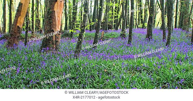 Bluebells at Tudenham, Mullingar County Westmeath, Ireland