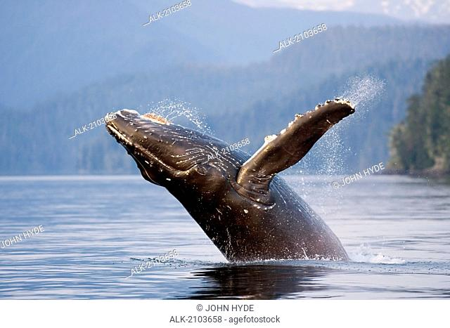 Humpback Whale Breaching W/Coast Mountains Background Inside Passage Se Alaska Summmer