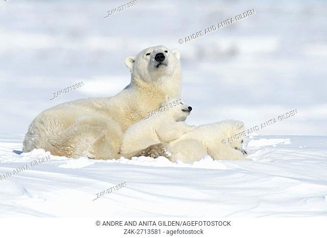 Polar bear mother (Ursus maritimus) looking at camera, with two new born cubs lying down on tundra, Wapusk National Park, Manitoba, Canada
