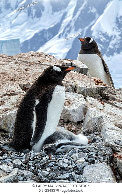 Gentoo penguin parents and chick on a rocky outcropping with mountain backdrop on Petermann Island in Antarctica