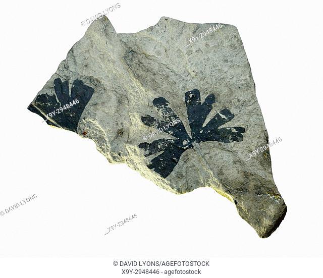 Ginko Biloba carbonised fossil fossilised tree leaf from Jurassic era in Coal Museum of China. Taiyuan city, Shanxi, China