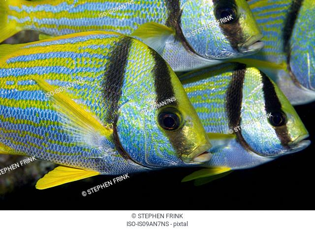 Small group of Porkfish