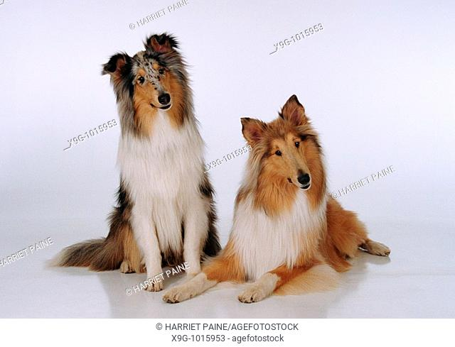 Collies: type of breed
