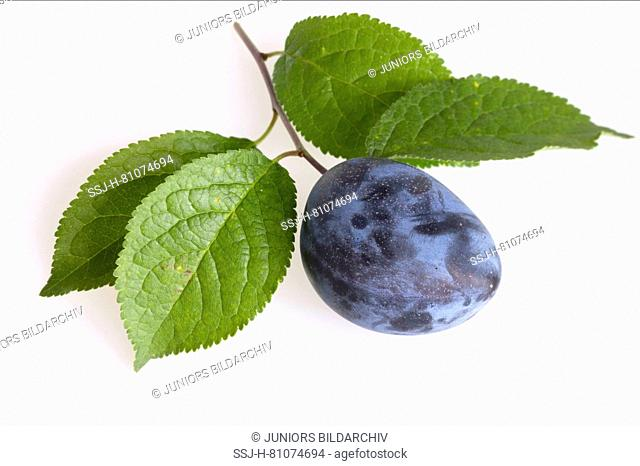 Zwetschge, Plum (Prunus domestica domestica). Twig with leaves and fruit. Studio picture against a white background