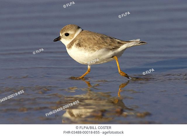 Piping Plover Charadrius melodus adult, winter plumage, running across mudflats, Marco Island, Florida, U S A