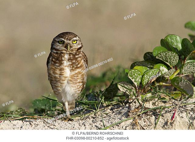Burrowing Owl Speotyto cunicularia adult, standing on one leg, Ilha do Mel, Parana, Brazil