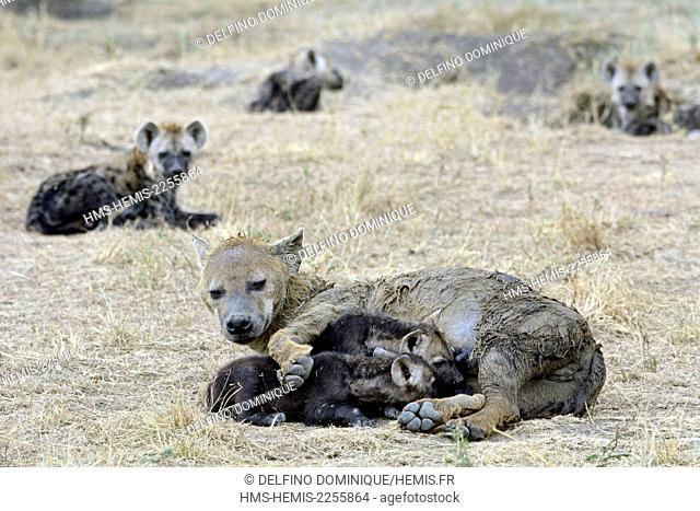 Kenya, Masai Mara Reserve, Spotted Hyena (Crocuta crocuta), and his young family near burrows