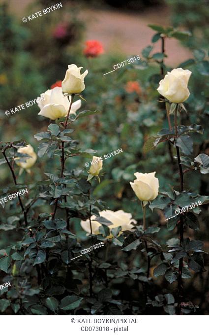White hybrid rose bush
