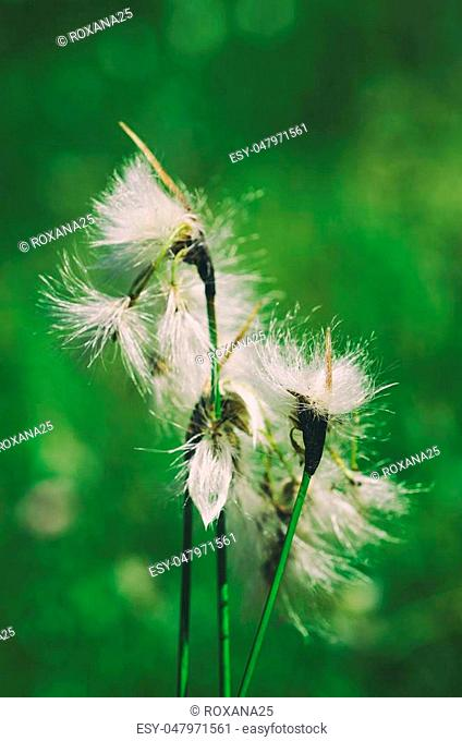 White fluffy flowers on the green meadow, natural background