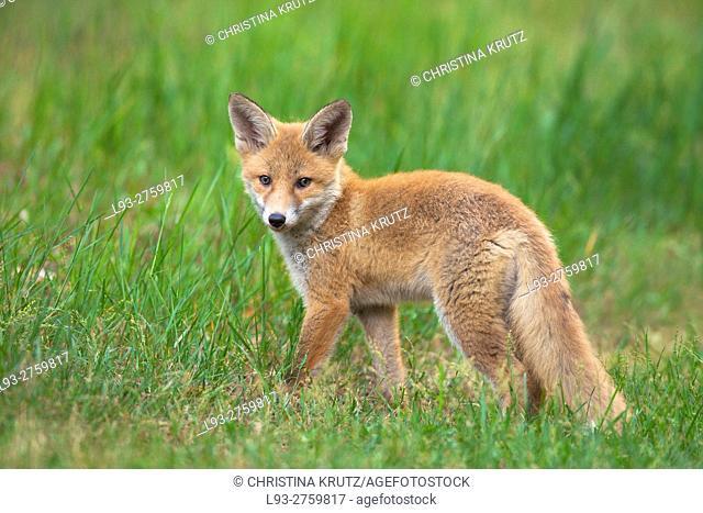 Red fox cub (Vulpes vulpes) in grass, Germany