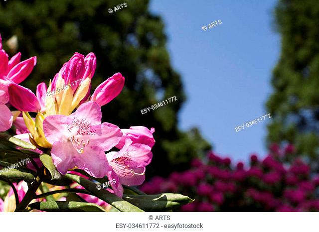 Pink rhododendron flower blossoming between the trees under blue sky