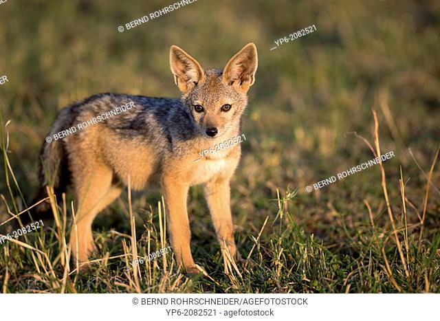 young Black-backed Jackal (Canis mesomelas) in savannah, Masai Mara, Kenya