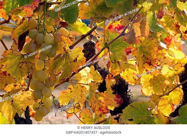 White Grape (Vitis vinifera) - Autumn - France, Europe - November 2007