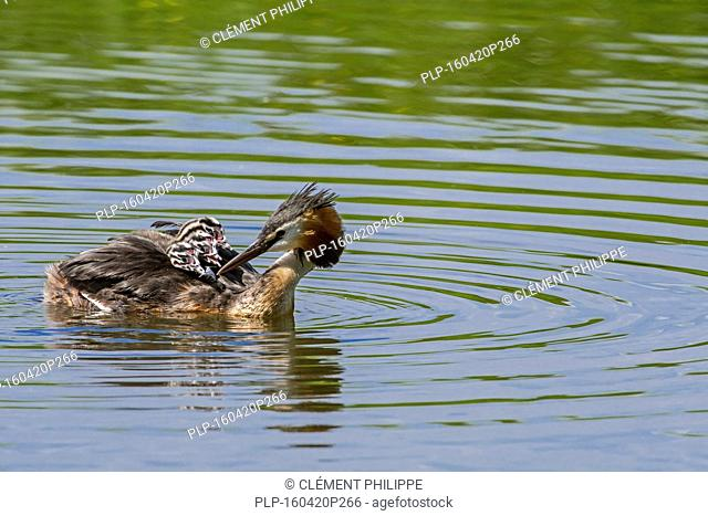 Great crested grebe (Podiceps cristatus) swimming in pond while carrying three chicks on its back