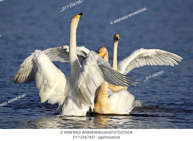 Displaying Whooper swans in winter range in Poland. Biebrza National Park