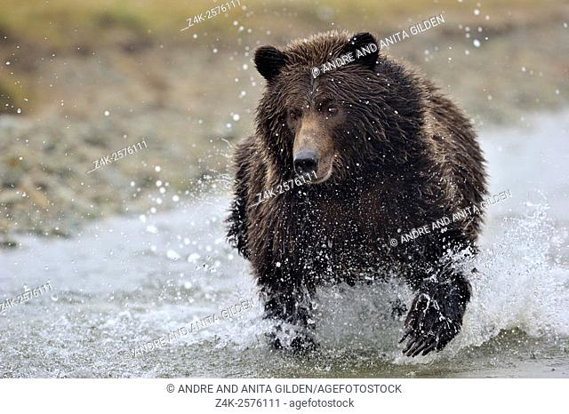 Grizzly Bear (Ursus arctos horribilis) fishing on salmon in river, Kinak bay, Katmai national park, Alaska, USA