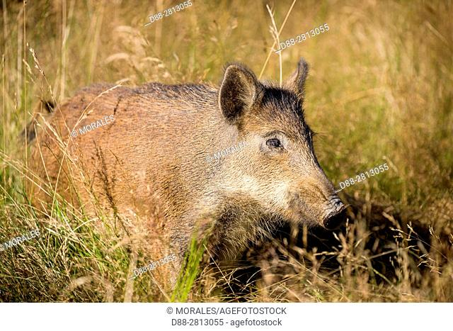 France, Haute Saone, Private park, Wild Boar (Sus scrofa), male