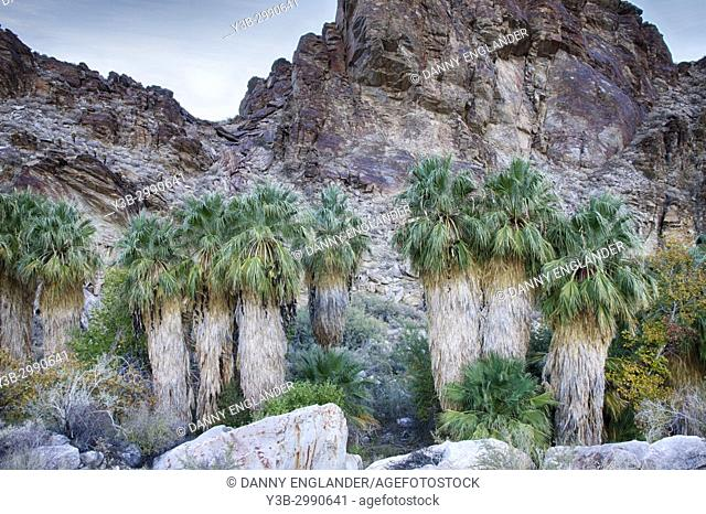 A row of California Fan Palms grow in an oasis in Andreas Canyon, with jagged rocks in the background, Palm Springs, California