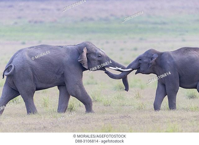 Asia, India, Uttarakhand, Jim Corbett National Park, Asian or Asiatic elephant (Elephas maximus), confrontation between young animals