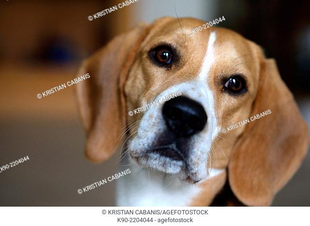 Portrait image of Tricolor Beagle, Berlin, Germany, Europe