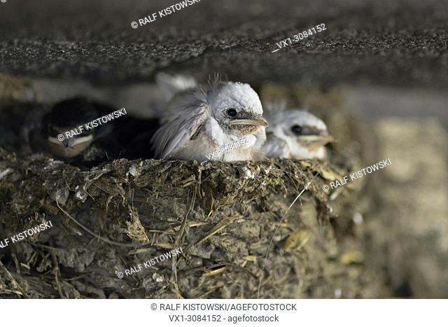 Barn Swallows ( Hirundo rustica ), chicks in nest, two of them with a rare gene mutation, white plumage, leucistic, leucism, wildlife, Europe