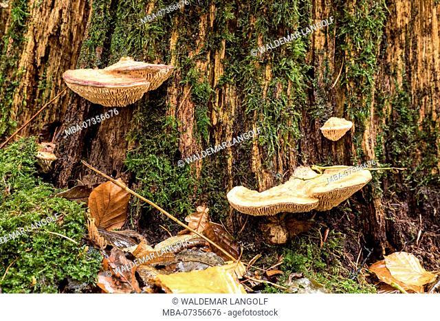 Fungus, Rusty gilled polypore, Cloeophyllum sepiarium, polypore