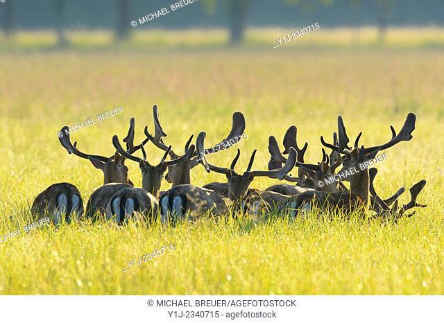 Herd of Fallow Deers (Cervus dama) in a meadow, Hesse, Germany, Europe