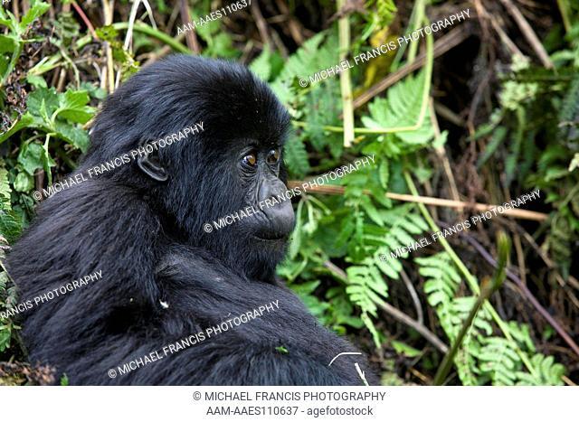 Mountain Gorilla (Gorilla beringei beringei), young portrait, Volcanoes National Park, Rwanda