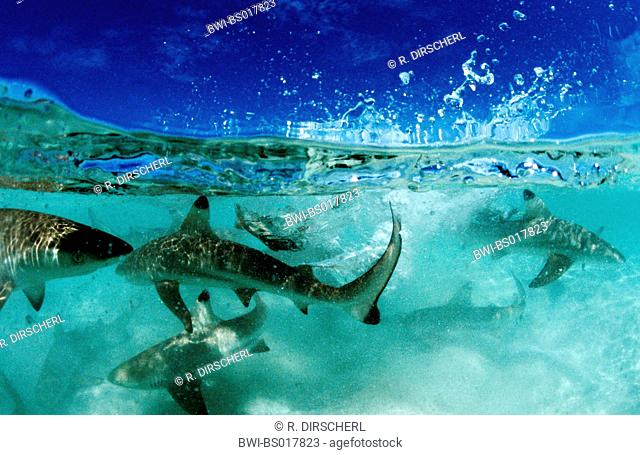 blacktip reef shark (Carcharhinus melanopterus), group in shallow water, split-level, Malaysia, Borneo