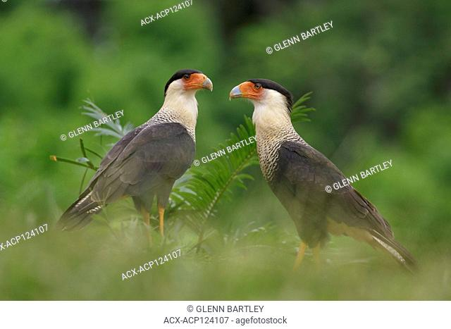 Crested Caracara (Polyborus plancus) perched on a branch in Costa Rica