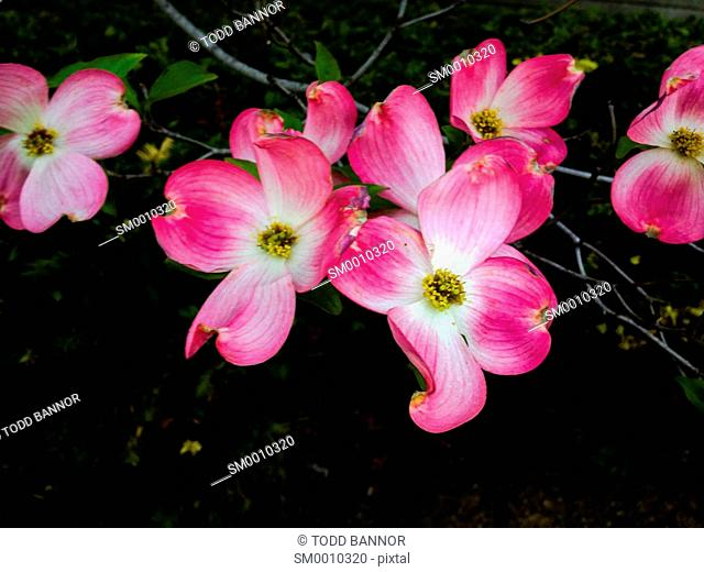Pink dogwood flowers. Bloomington, Indiana, USA