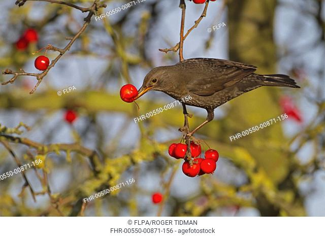 European Blackbird Turdus merula adult female, feeding on crabapple fruit, Norfolk, England, january
