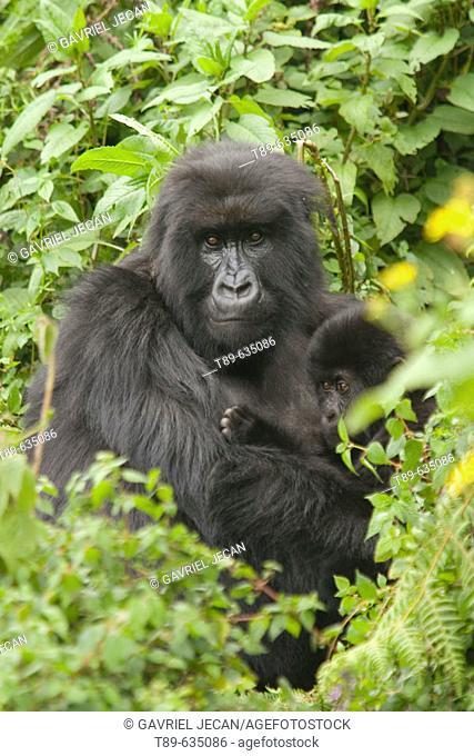 Mountain gorilla (Gorilla gorilla beringei) mother and baby