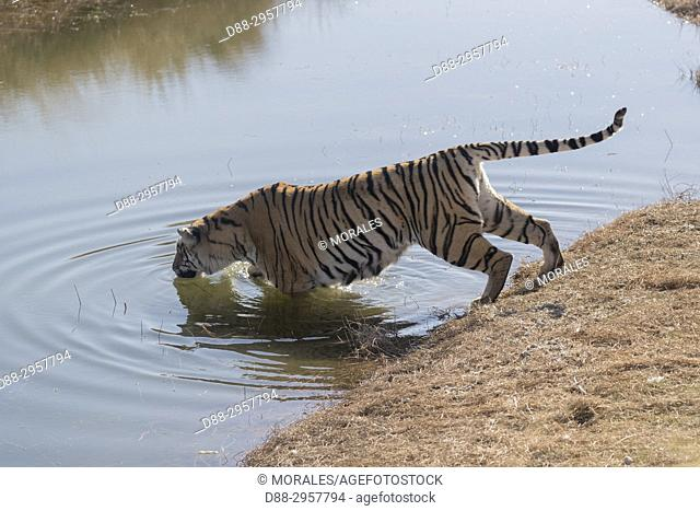 South Africa, Private reserve, Asian (Bengal) Tiger (Panthera tigris tigris), in the water