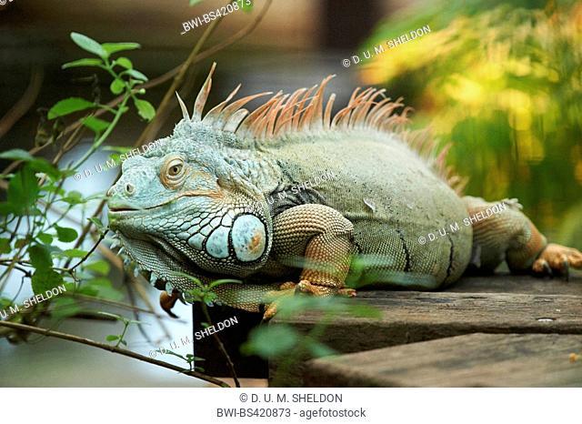 green iguana, common iguana (Iguana iguana), male