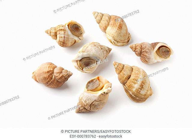 Whole fresh common whelk on white background