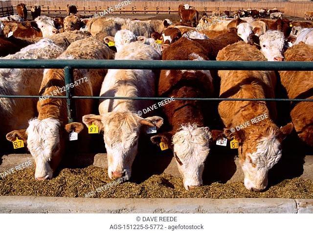 Livestock - Mixed breed beef cattle feeding on silage at a feedlot feed bunk / Canada - Saskatchewan, nr. Hazenmore
