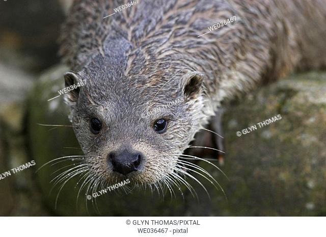 Otter at the Otter Trust County Durham UK