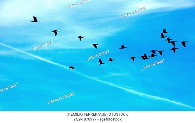 'Phalacrocorax carbo' flying in Estany d'Ivars  Vila-sana  LLeida  Spain