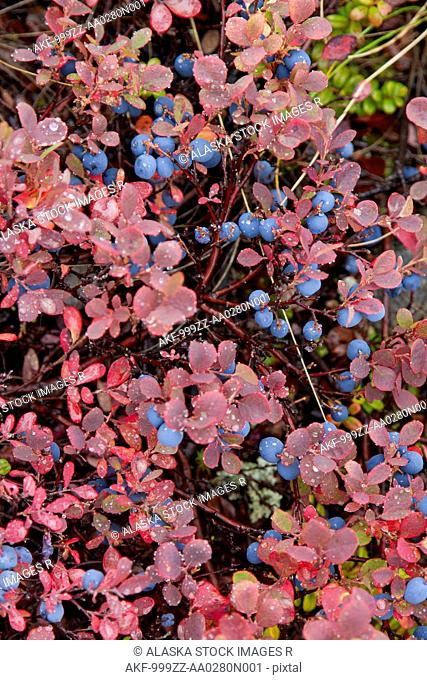 Close up of a blueberries and fall colored foliage, Interior Alaska, Autumn